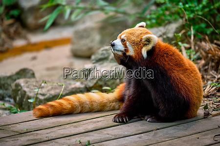 red panda lesser panda