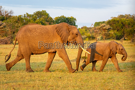 african elephant and calf walk past