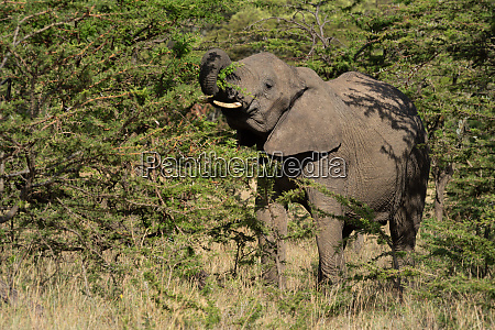 african elephant stands raising trunk in