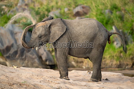 african elephant taking sand bath on