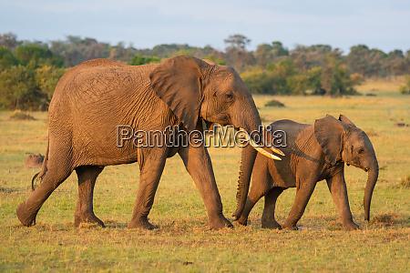 african elephant and calf walk across