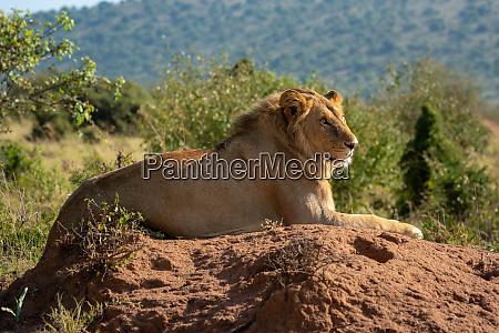 backlit male lion lies on termite
