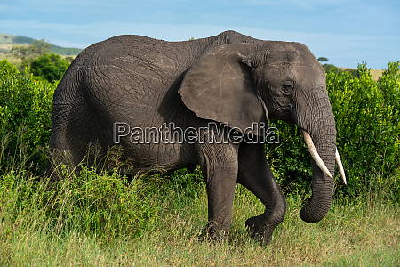 african elephant lifts foot walking past
