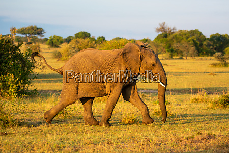 african elephant running past bushes on