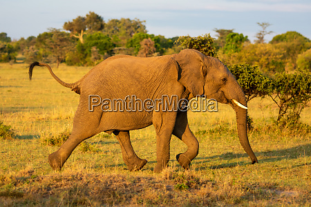 african elephant runs past bushes in