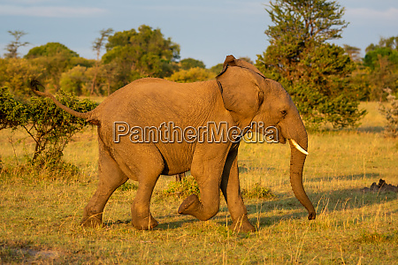 african elephant runs past bushes on