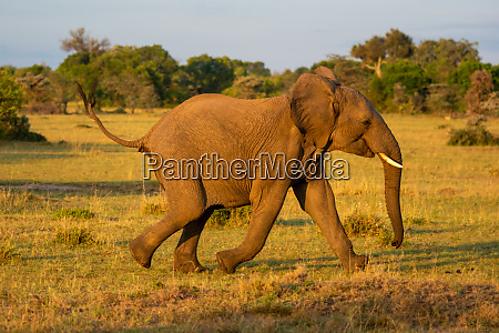 african elephant runs past trees in