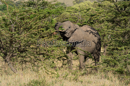 african elephant stands browsing on thick