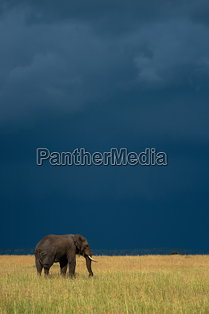 african elephant stands in grass under