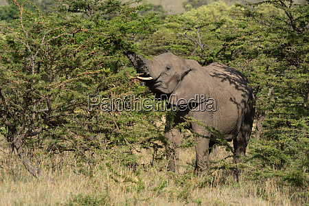 african elephant stands lifting trunk in