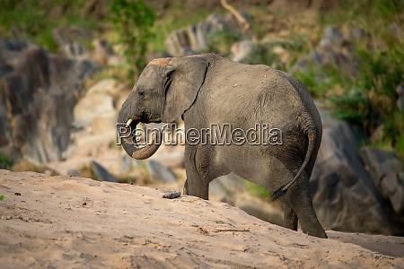 african elephant walks past rocks on