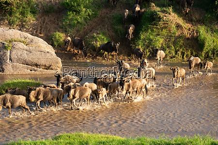 blue wildebeest cross shallow stream in