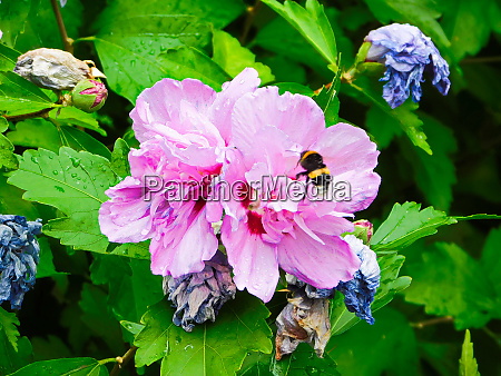 the bumblebee in the flower of