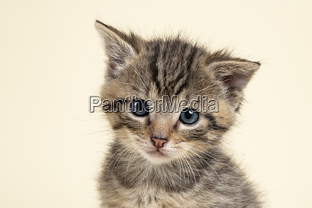 mammal wildcat 2020 32933