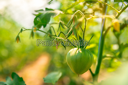 ripening green tomatoes in a greenhouse