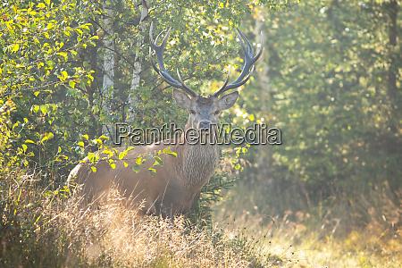 alert red deer stag facing camera