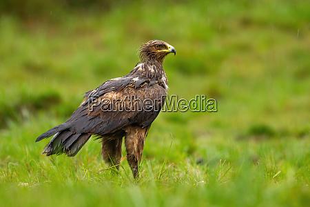 wet lesser spotted eagle observing in
