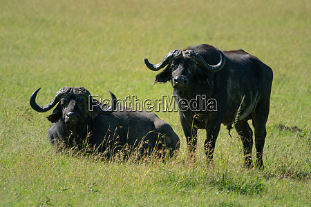 cape buffalo stands beside another lying
