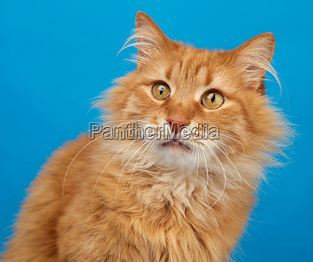 portrait of adult ginger fluffy cat