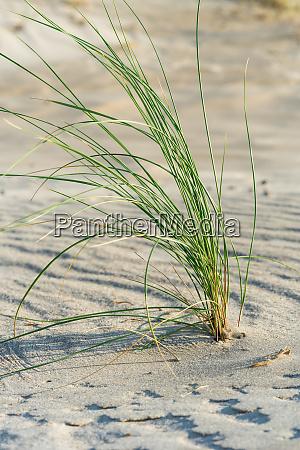 marram grass close up at the