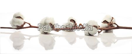 cotton branche