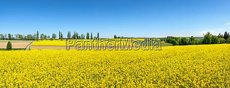 idyllic rural scene with flowering rapeseed