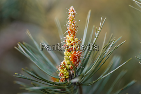 flowering pine how the pine blossoms