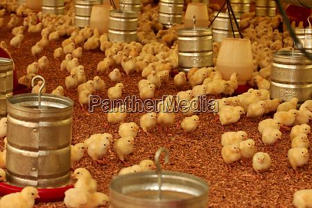 chicken farm in brazil
