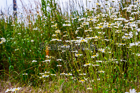 patch of lovely white ox eye