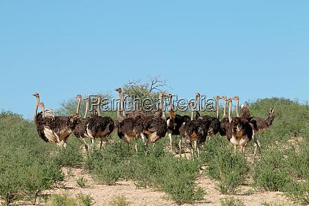 ostriches in natural habitat kalahari