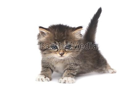 tiny 4 week old kitten on
