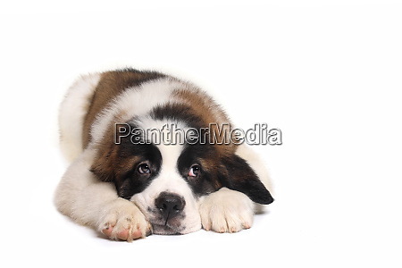 saint bernard puppy with sweet expression
