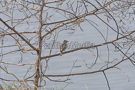 vesper sparrow singing in a tree