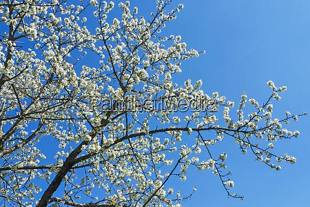 apple blossoms in full bloom