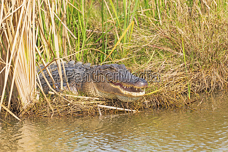 american alligator sunning in the reeds