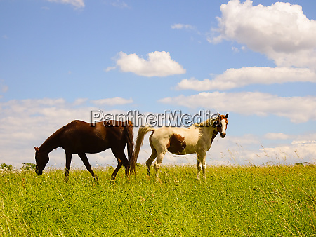 beautiful horses in the pasture when