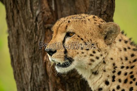 close up of cheetah staring past
