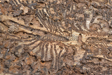 european spruce bark beetle in a