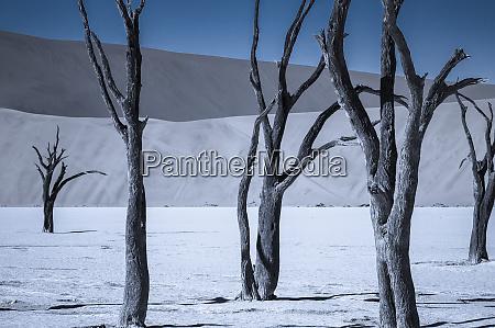 dead acacia trees in the namib