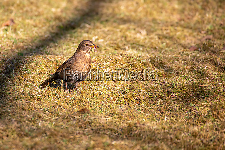 blackbird with a worm in its