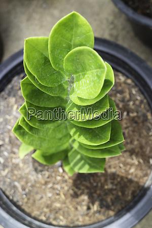 zanzibar gem plant in exterior garden