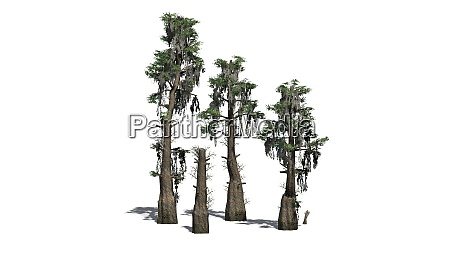 bald cypress tree cluster isolated