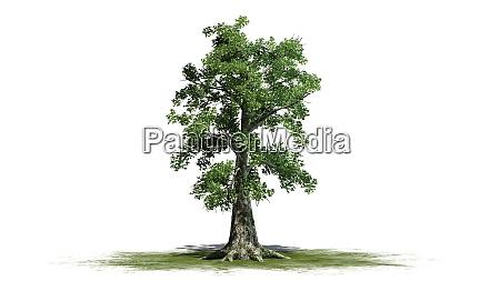 sassafras tree separated on white