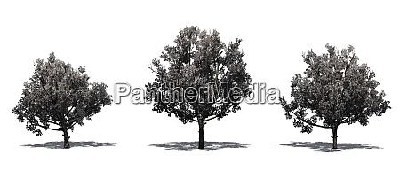 set of bradford pear trees in