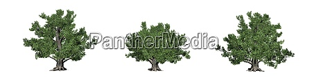 set of european beech trees in