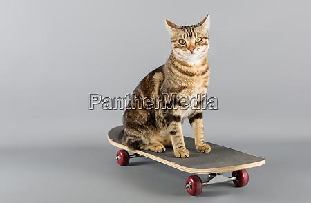 cat on a skateboard