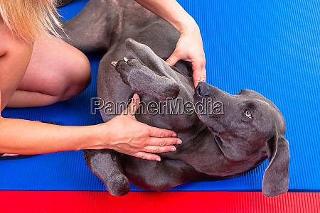 massage for a weimaraner pet dog