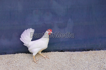 single white chicken outdoors looking right