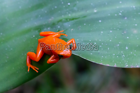a small orange frog on a