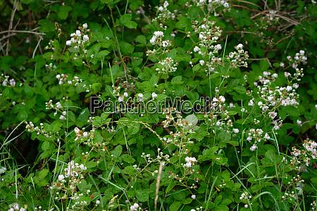 raspberry bush with white flowers
